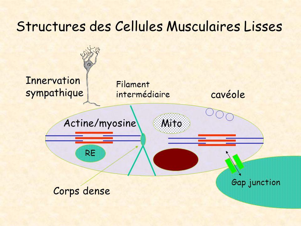 Structures des Cellules Musculaires Lisses