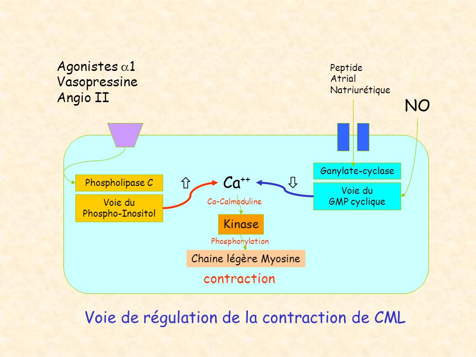 Voie de régulation de la contraction de CML