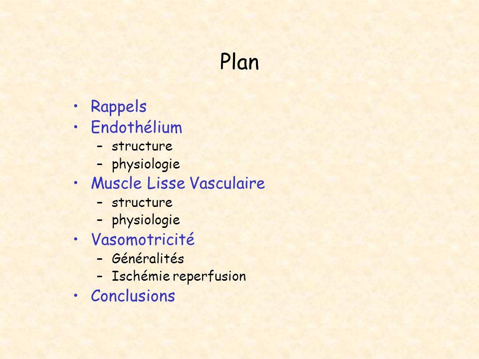Plan Rappels Endothélium Muscle Lisse Vasculaire Vasomotricité