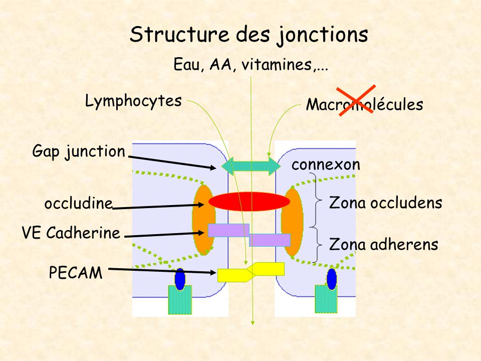 Structure des jonctions