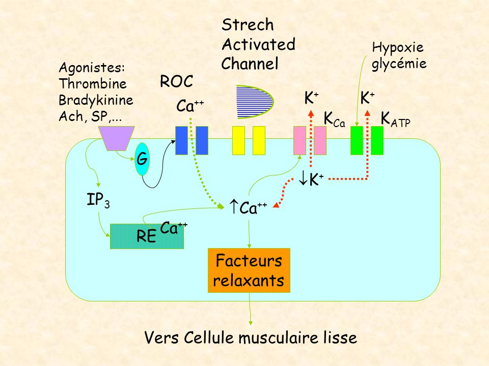 Vers Cellule musculaire lisse