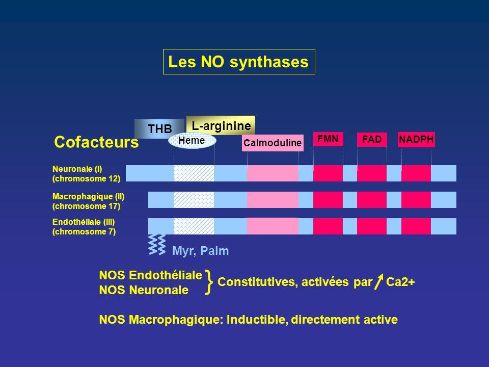 } Les NO synthases Cofacteurs L-arginine THB Myr, Palm