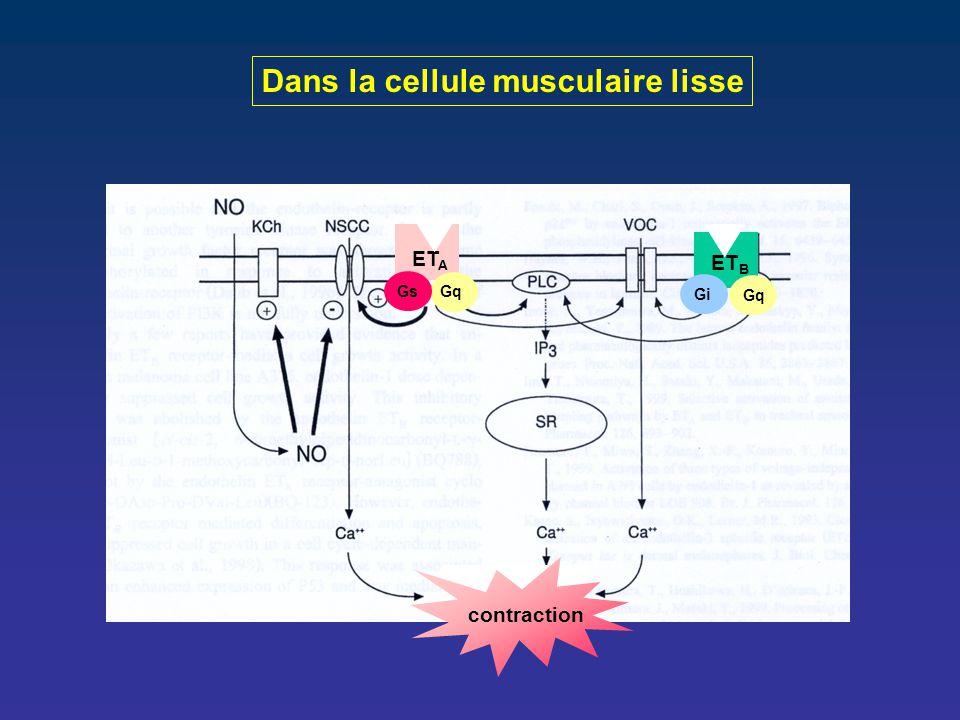 Dans la cellule musculaire lisse