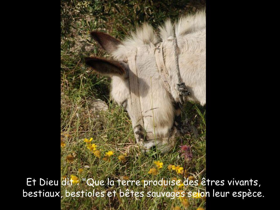 Et Dieu dit : Que la terre produise des êtres vivants, bestiaux, bestioles et bêtes sauvages selon leur espèce.