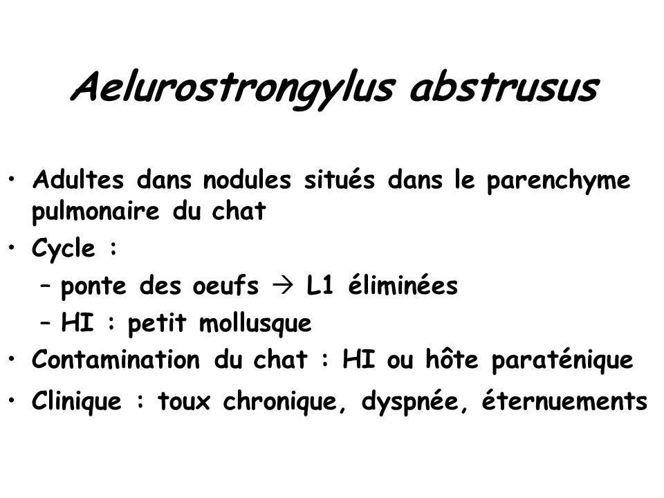 Aelurostrongylus abstrusus