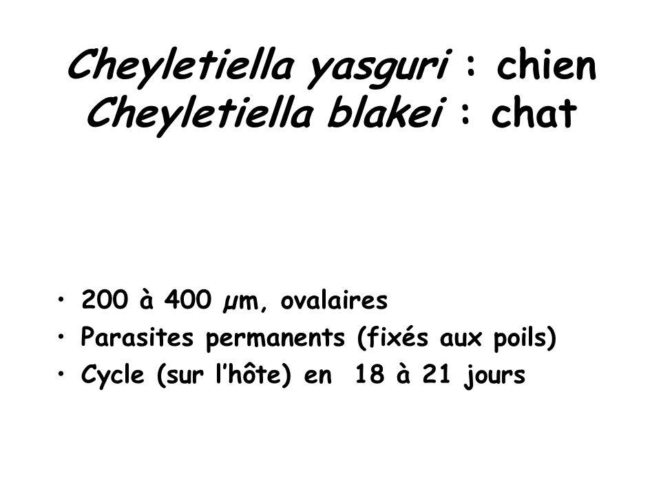 Cheyletiella yasguri : chien Cheyletiella blakei : chat