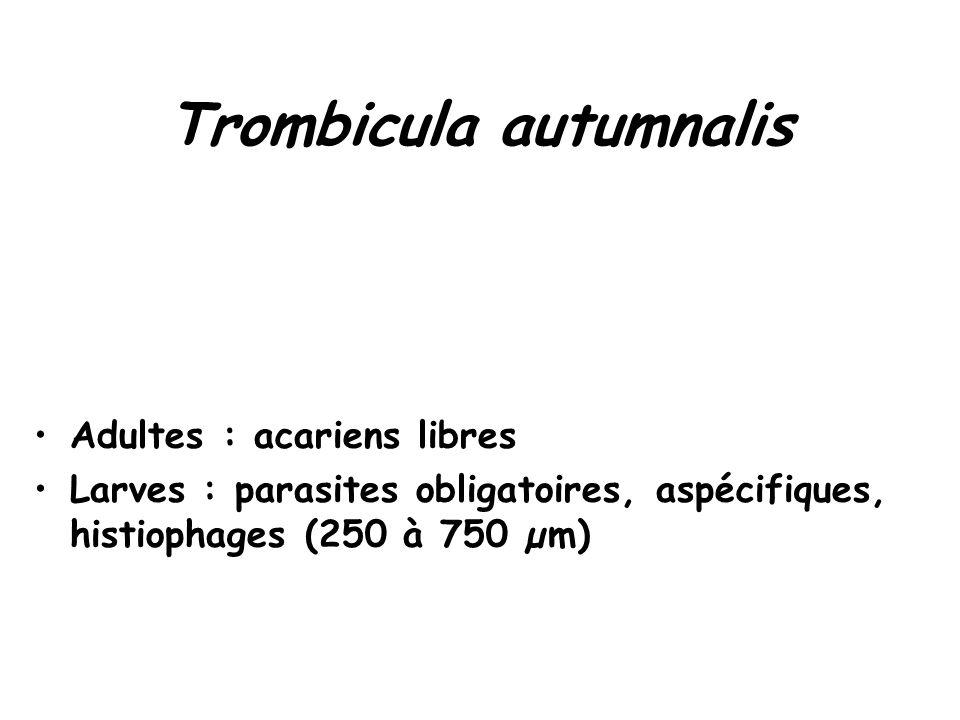 Trombicula autumnalis