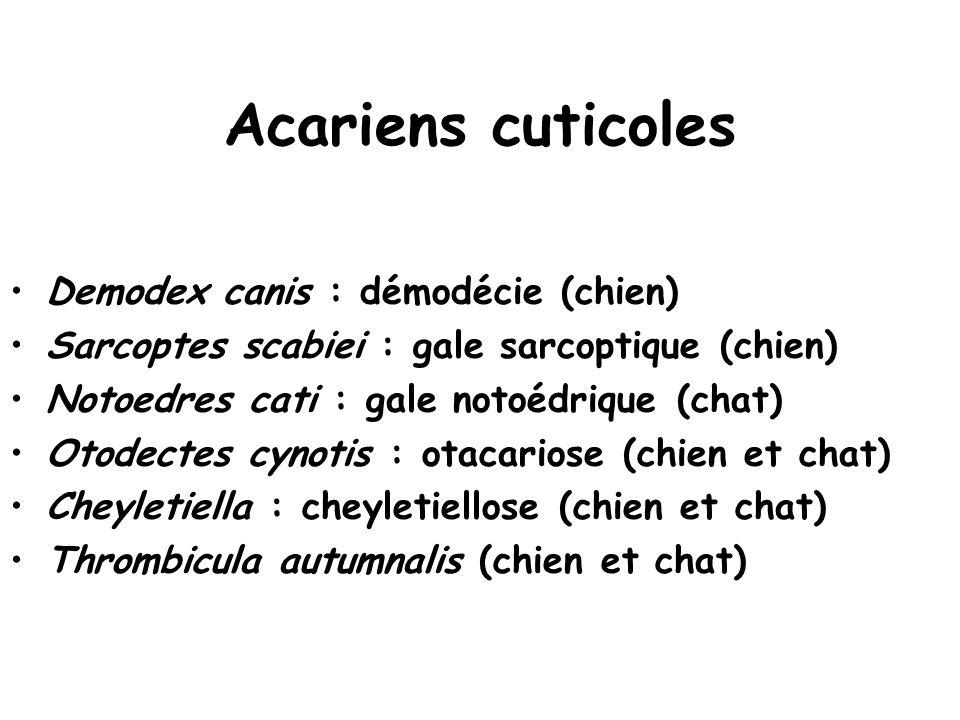 Acariens cuticoles Demodex canis : démodécie (chien)