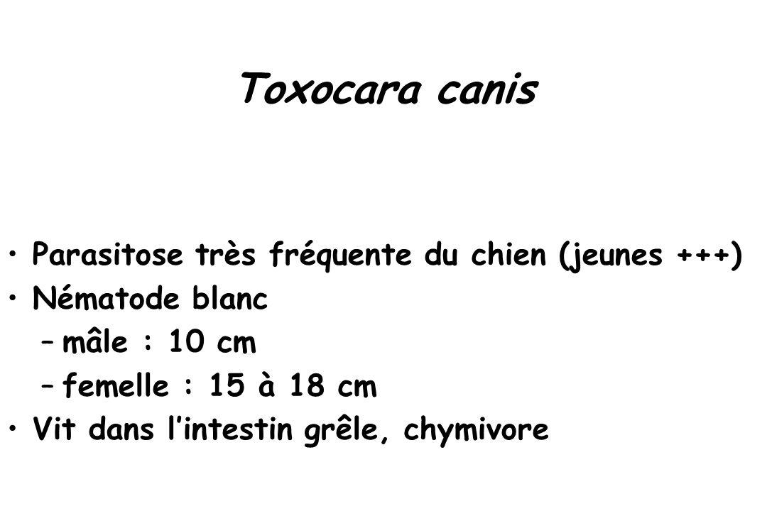 Toxocara canis Parasitose très fréquente du chien (jeunes +++)