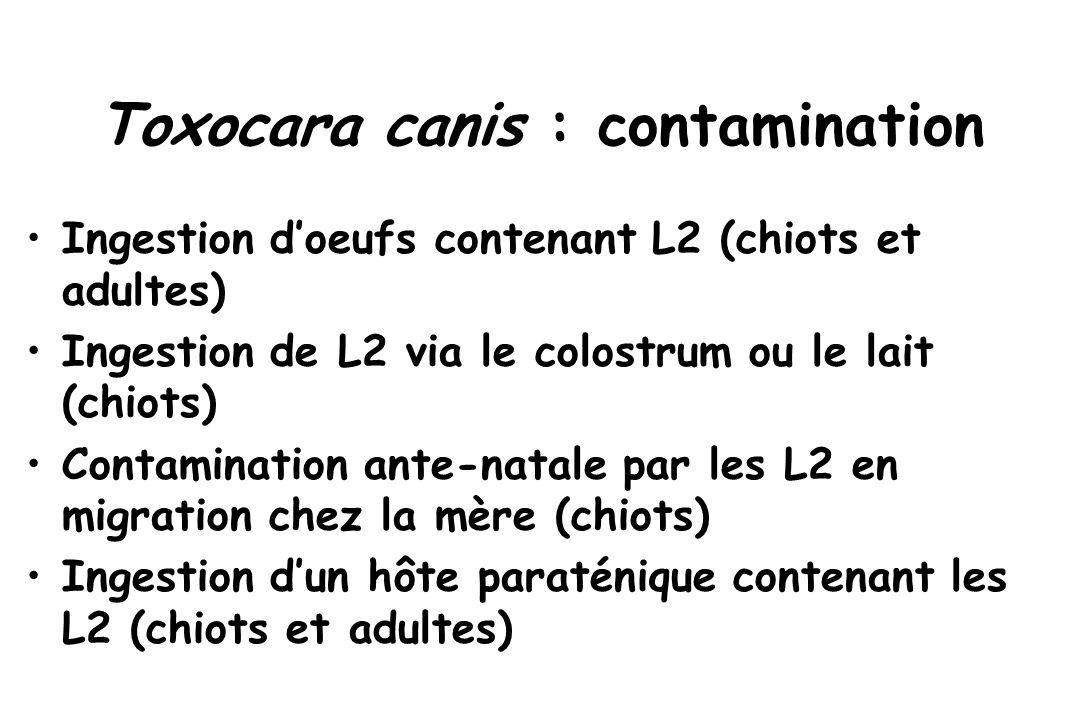 Toxocara canis : contamination