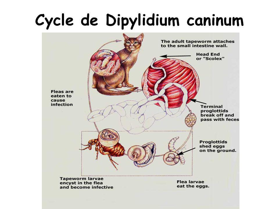 Cycle de Dipylidium caninum