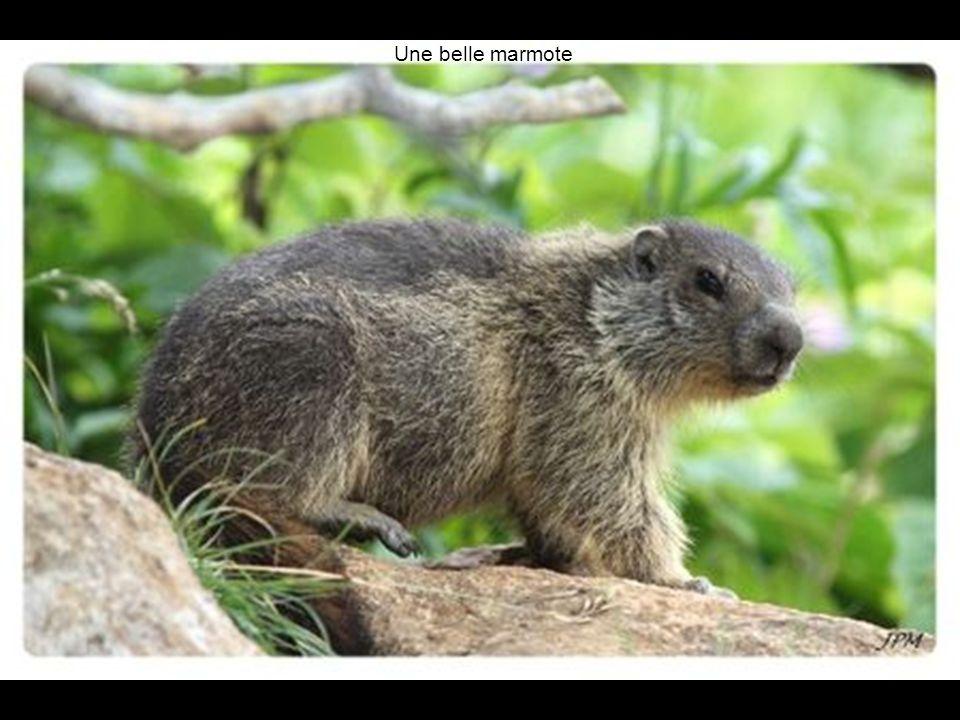Une belle marmote