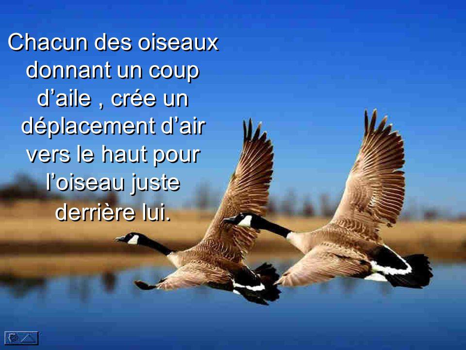 Chacun des oiseaux donnant un coup d'aile , crée un déplacement d'air vers le haut pour l'oiseau juste derrière lui.