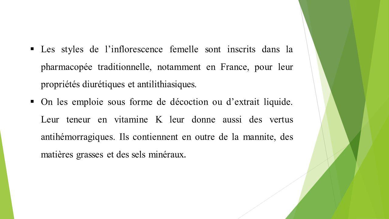 Les styles de l'inflorescence femelle sont inscrits dans la pharmacopée traditionnelle, notamment en France, pour leur propriétés diurétiques et antilithiasiques.