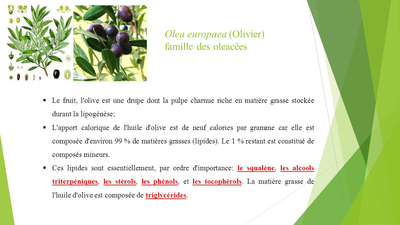 Olea europaea (Olivier) famille des oleacées