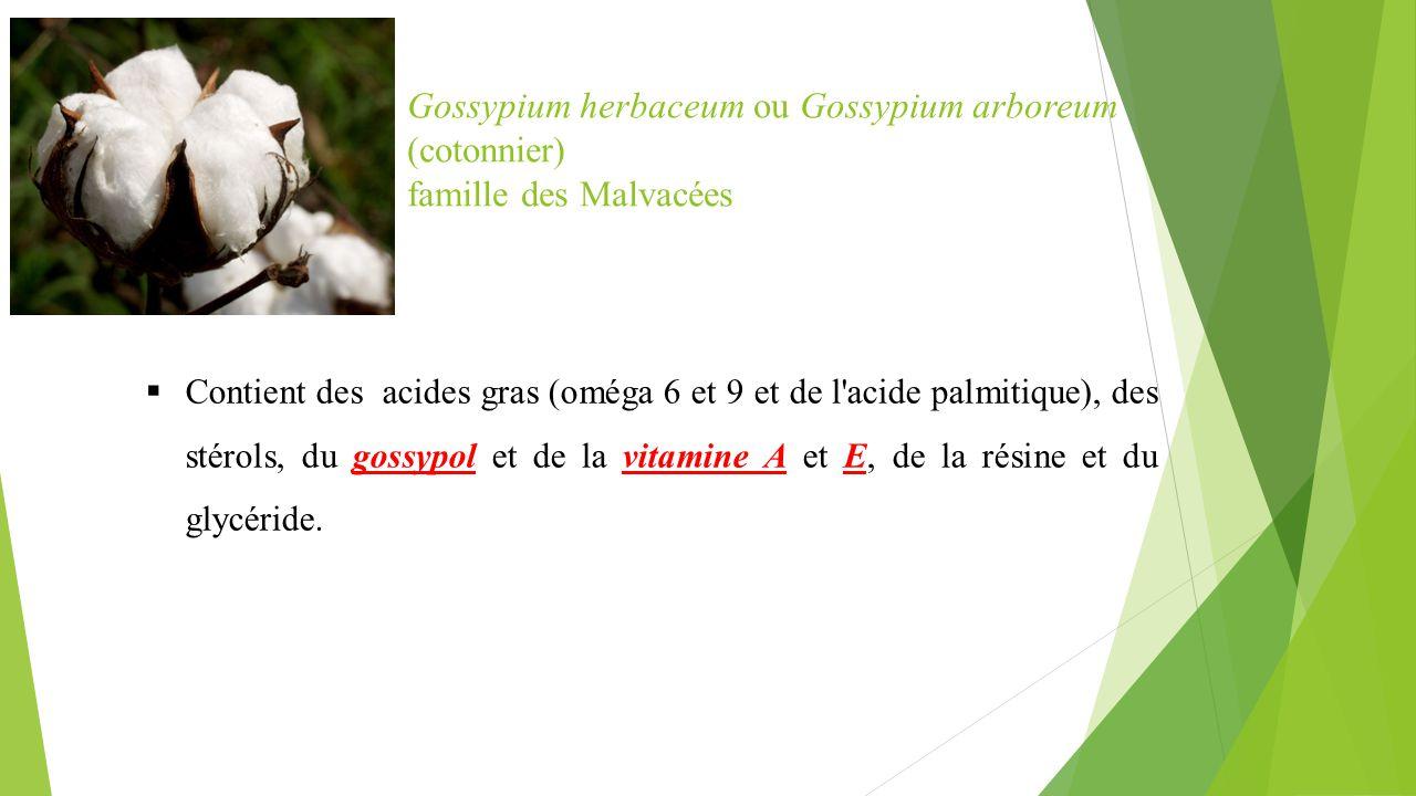 Gossypium herbaceum ou Gossypium arboreum (cotonnier)