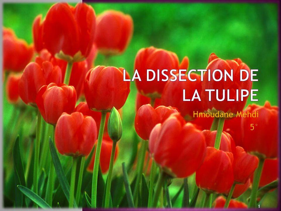 La dissection de la tulipe