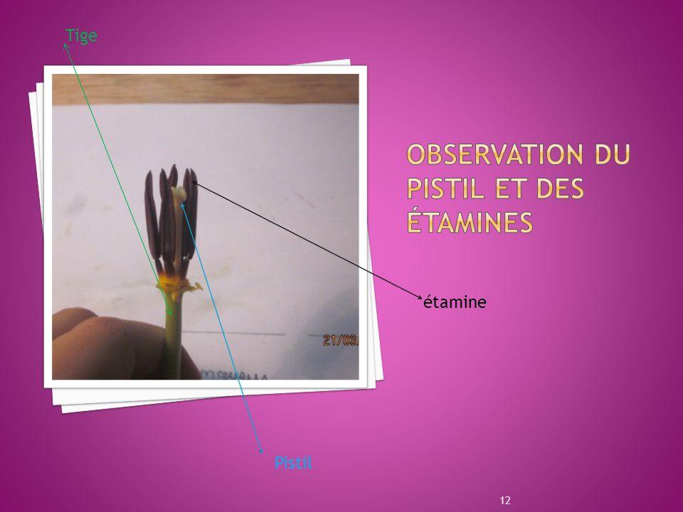 OBSERVATION DU PISTIL ET DES étamines