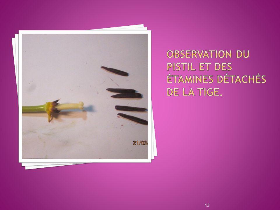 Observation du pistil et des étamines détachés de la tige.