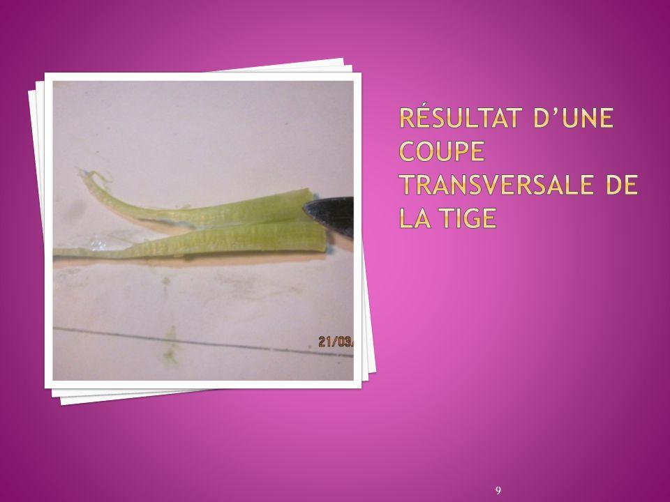 Résultat d'une coupe transversale de la tige