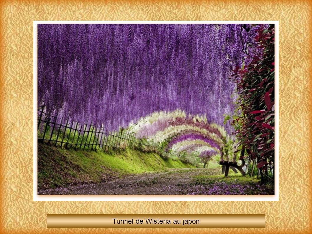 Tunnel de Wisteria au japon