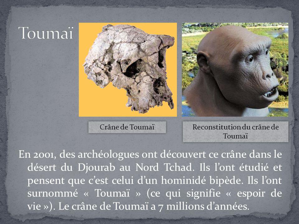 Reconstitution du crâne de Toumaï