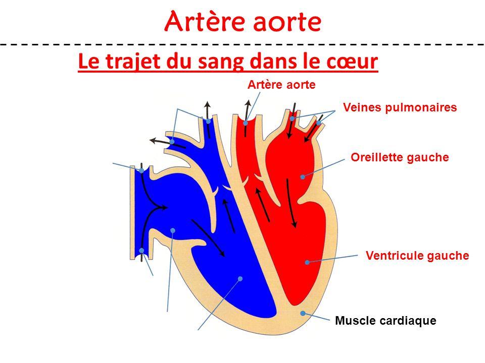 Le trajet du sang dans le cœur