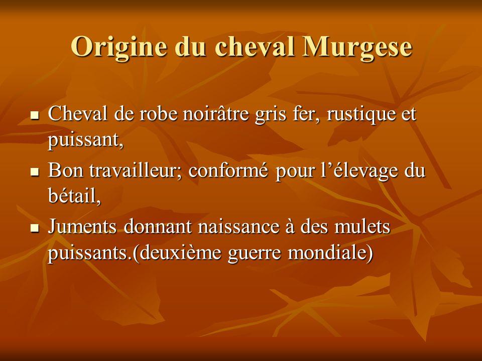 Origine du cheval Murgese