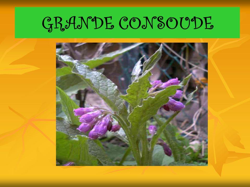 GRANDE CONSOUDE