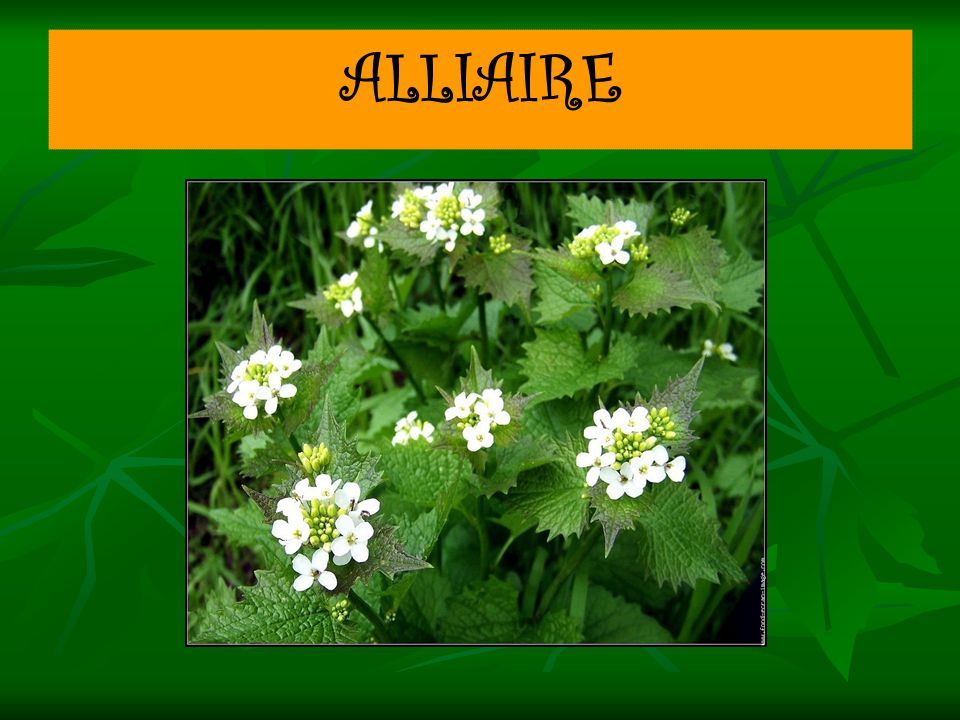 ALLIAIRE