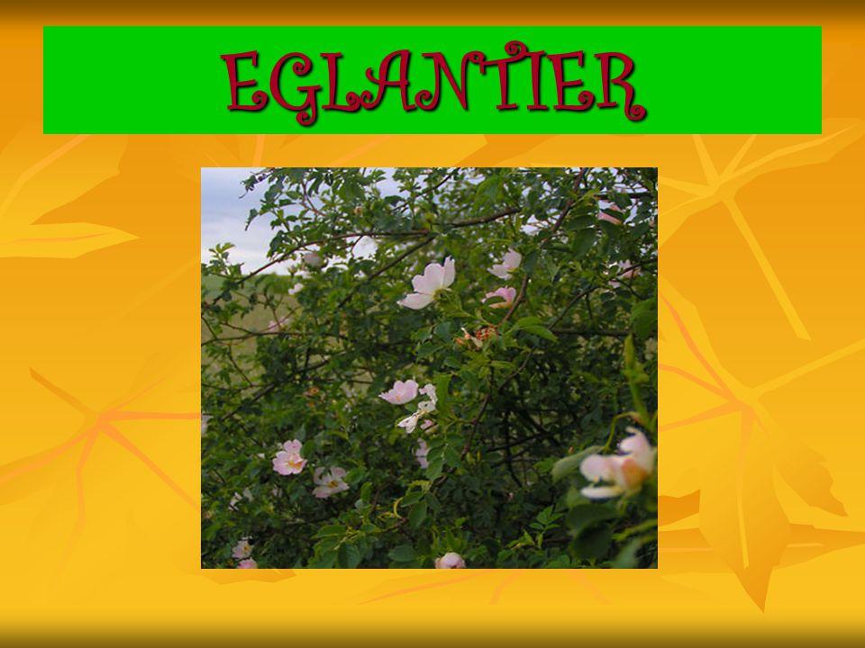 EGLANTIER