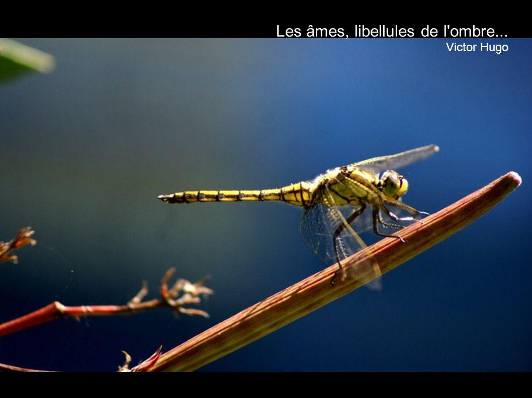Les âmes, libellules de l ombre...