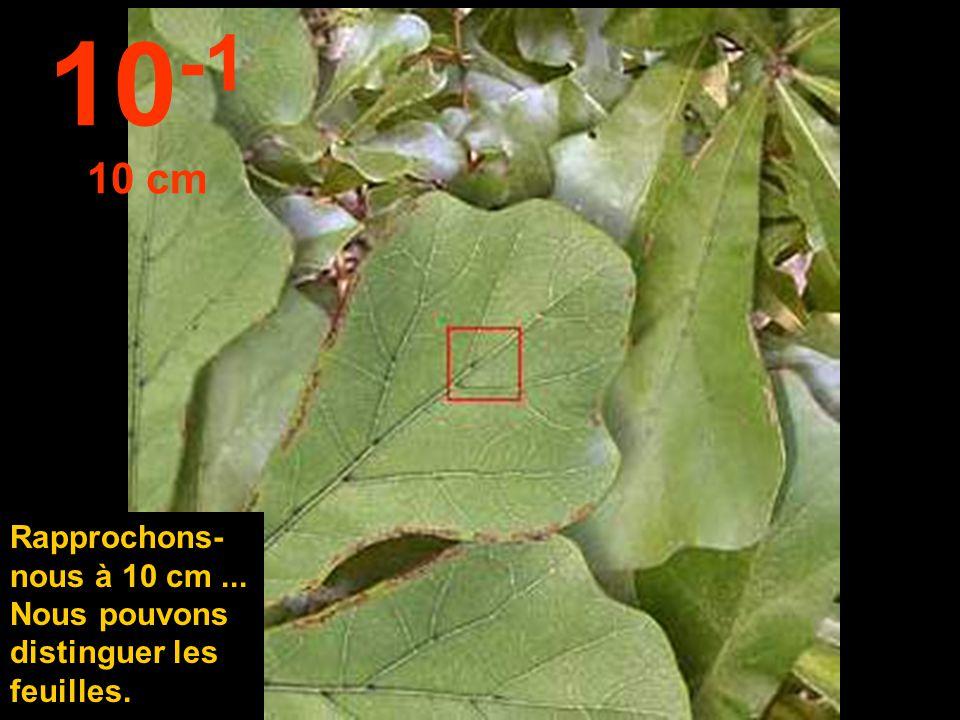10-1 10 cm Rapprochons- nous à 10 cm ... Nous pouvons distinguer les feuilles.