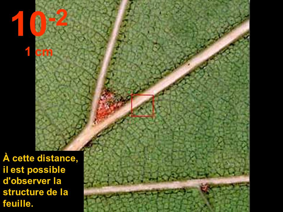 10-2 1 cm À cette distance, il est possible d observer la structure de la feuille.
