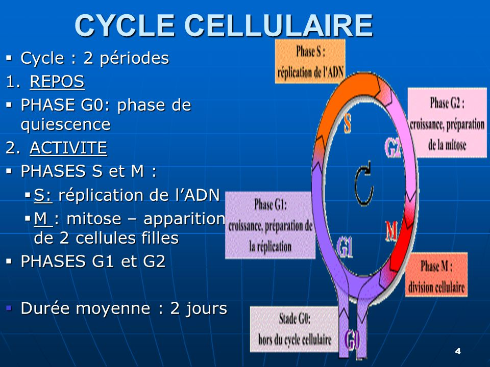 CYCLE CELLULAIRE Cycle : 2 périodes REPOS