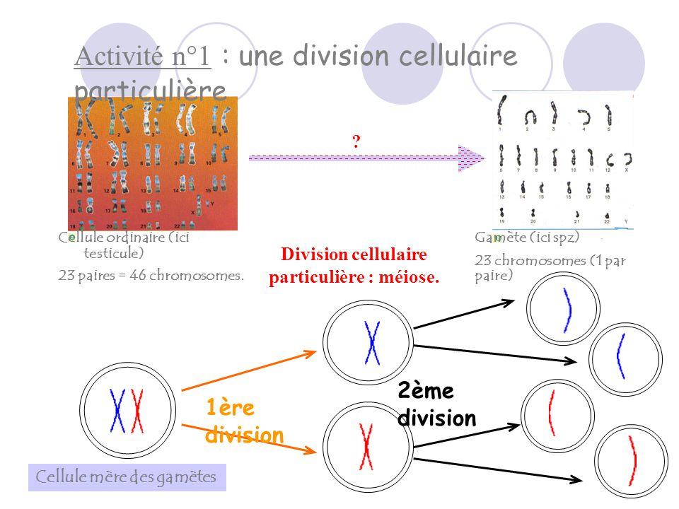 Activité n°1 : une division cellulaire particulière