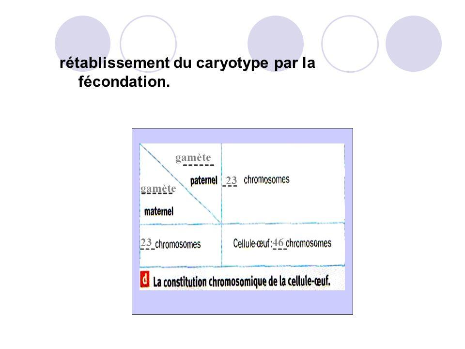 rétablissement du caryotype par la fécondation.