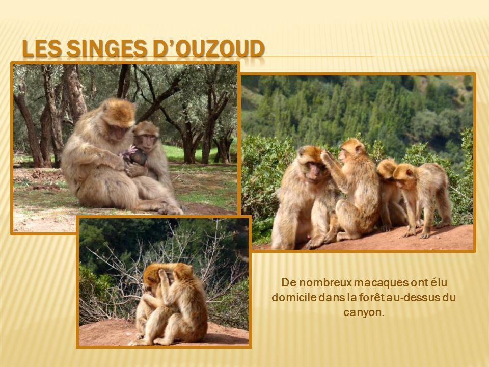 Les singes d'ouzoud De nombreux macaques ont élu domicile dans la forêt au-dessus du canyon.