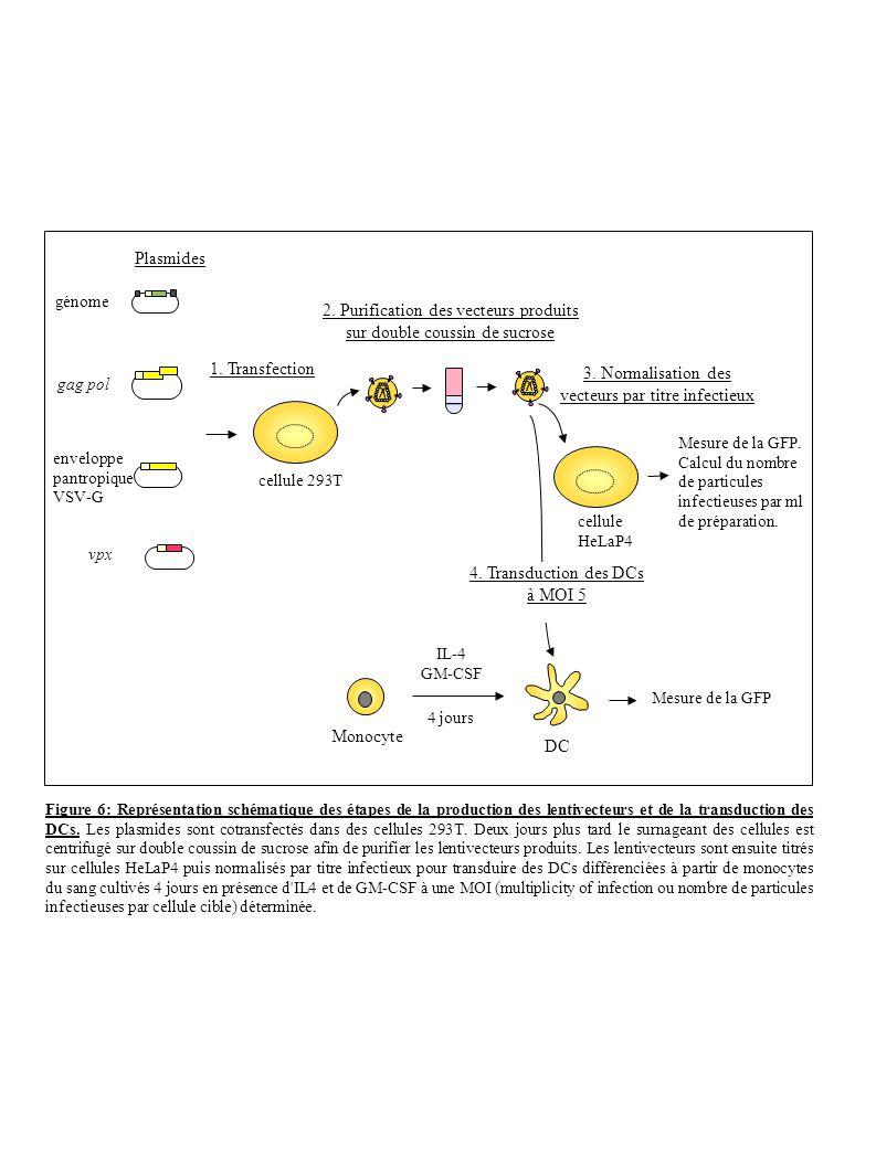 2. Purification des vecteurs produits sur double coussin de sucrose