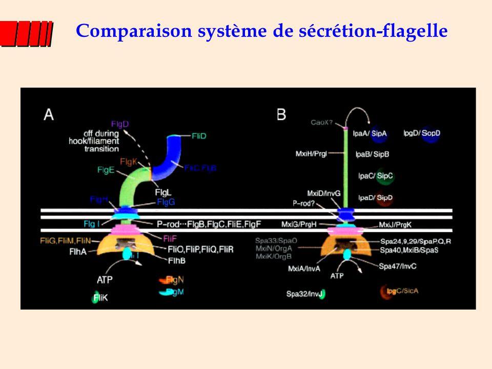 Comparaison système de sécrétion-flagelle