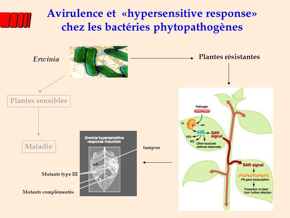 Avirulence et «hypersensitive response» chez les bactéries phytopathogènes