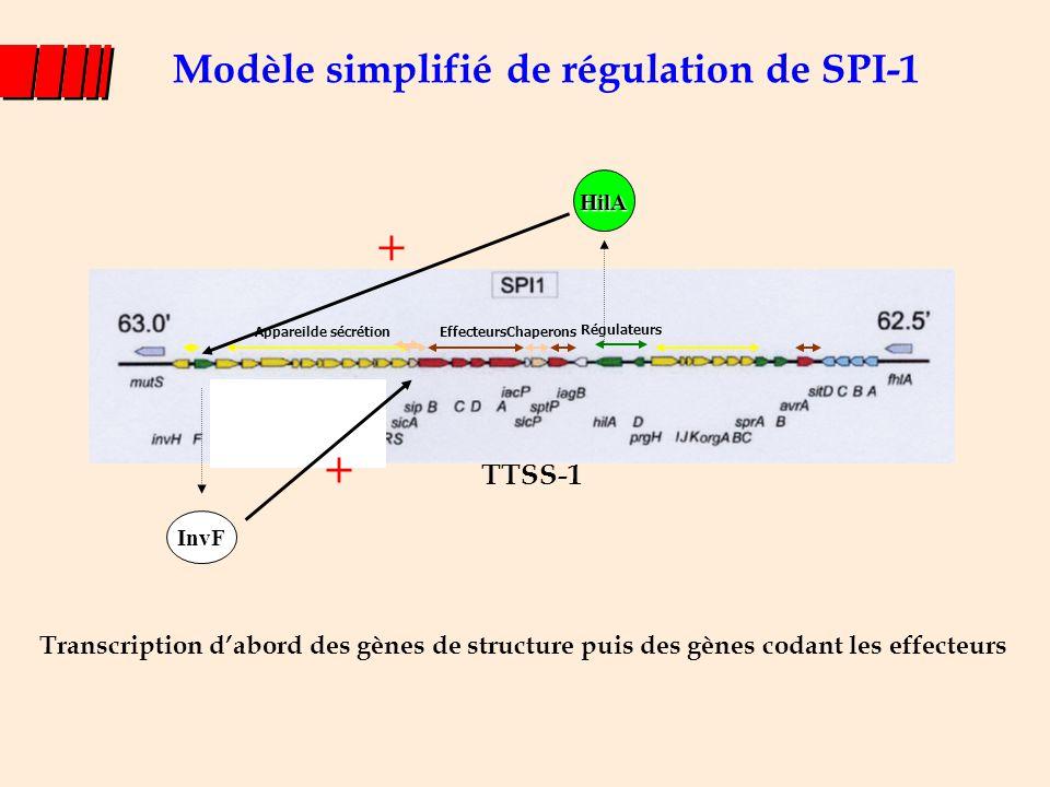 Modèle simplifié de régulation de SPI-1