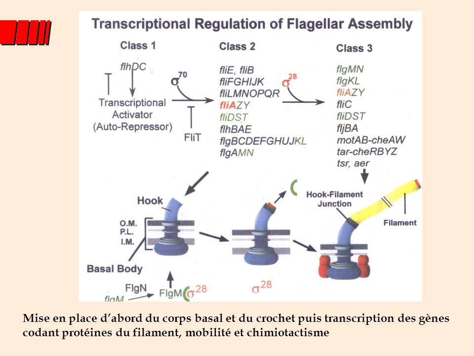 Mise en place d'abord du corps basal et du crochet puis transcription des gènes