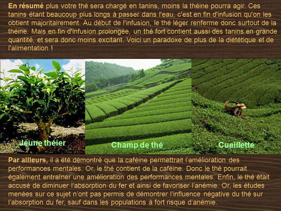 Jeune théier Champ de thé Cueillette