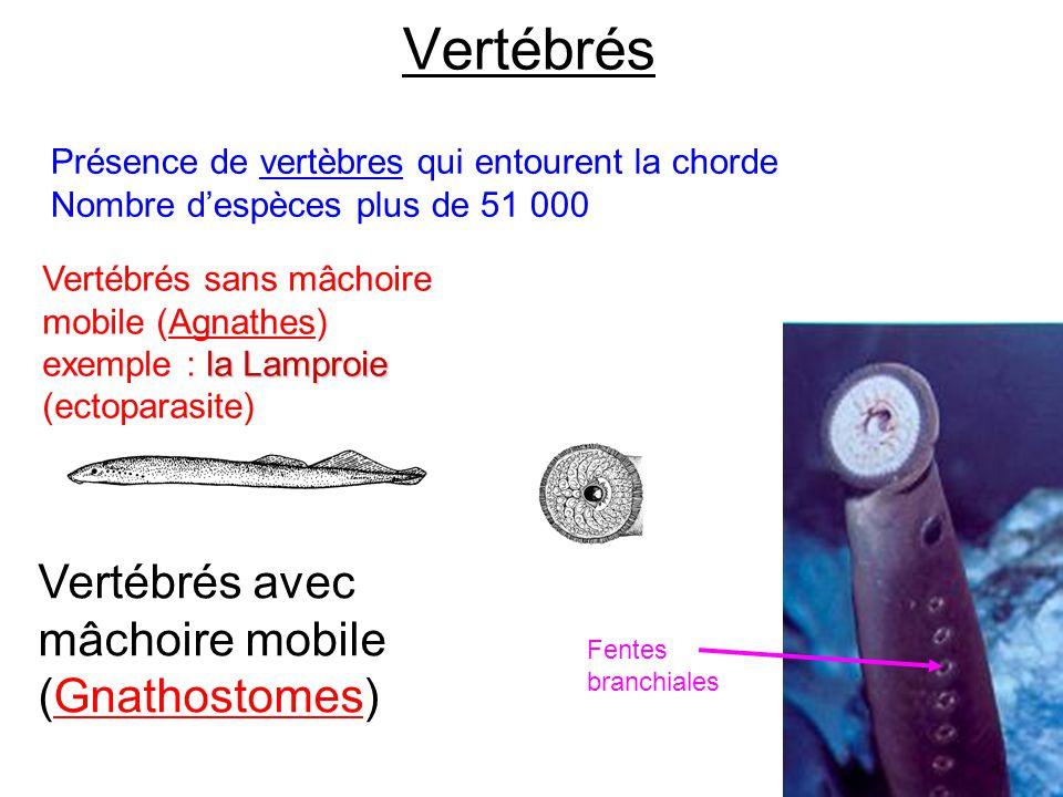 Vertébrés Vertébrés avec mâchoire mobile (Gnathostomes)