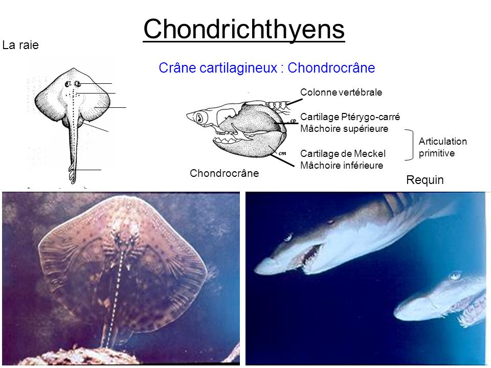 Chondrichthyens Crâne cartilagineux : Chondrocrâne La raie Requin
