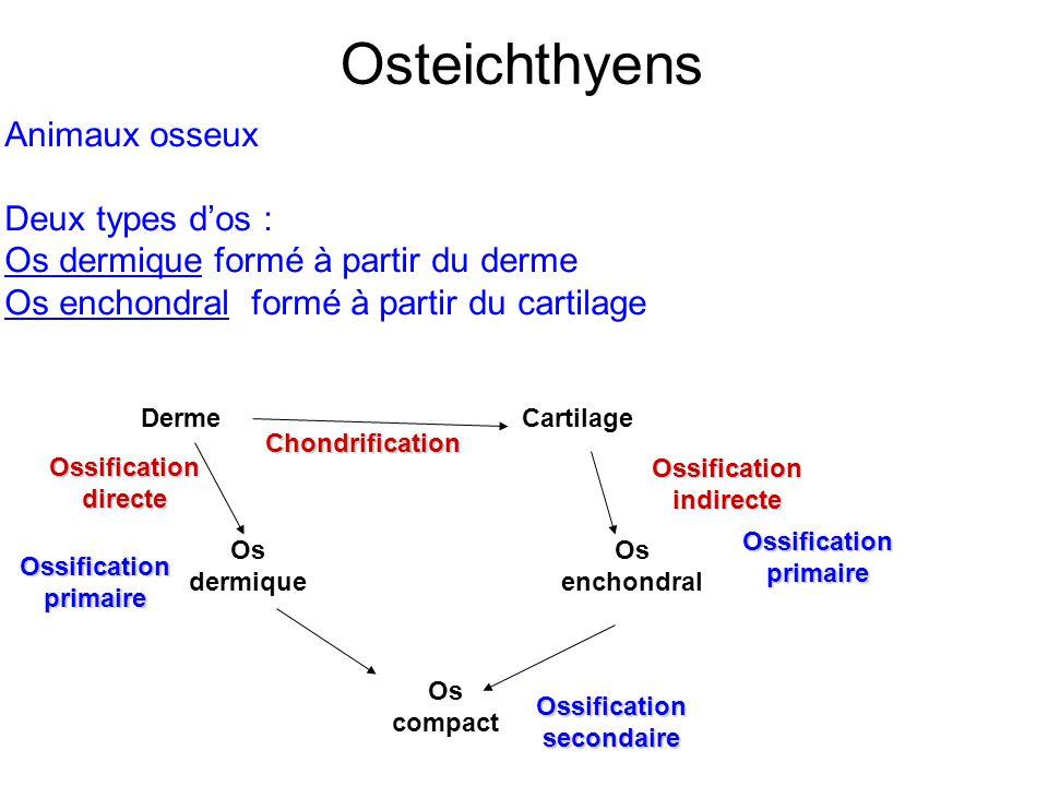 Osteichthyens Animaux osseux Deux types d'os :