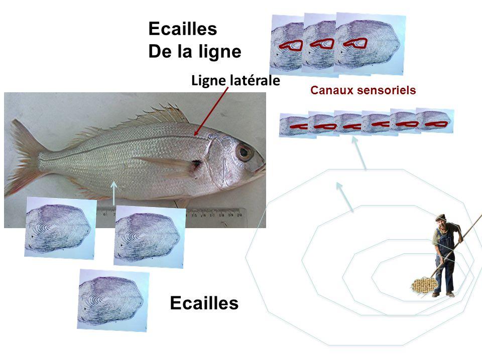 Ecailles De la ligne Ligne latérale Canaux sensoriels Ecailles