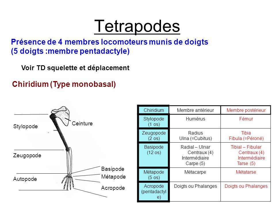 Tetrapodes Présence de 4 membres locomoteurs munis de doigts