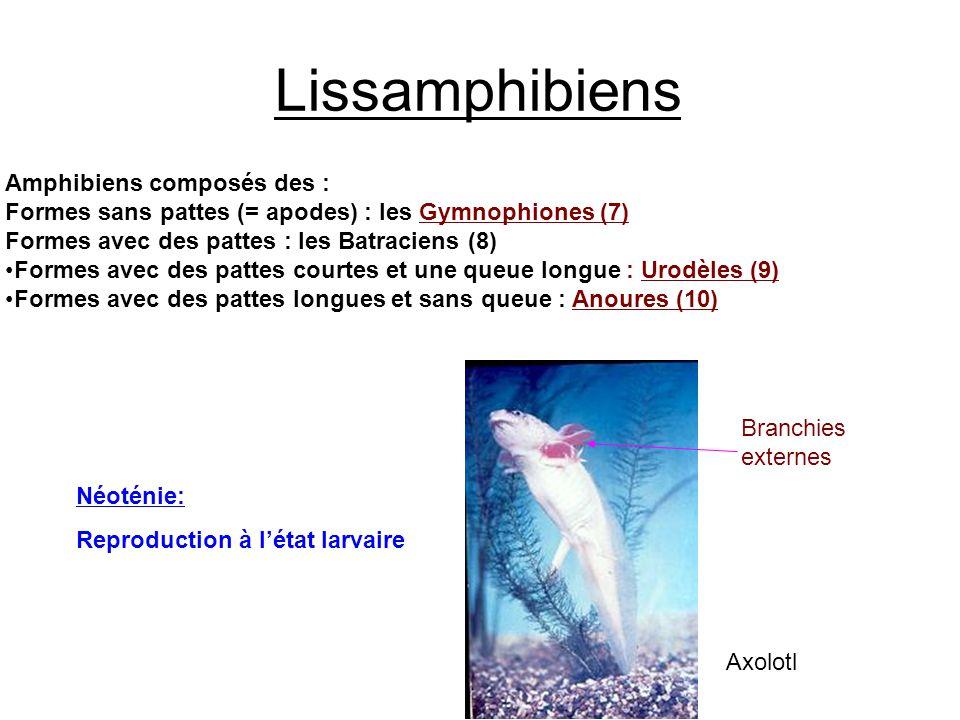 Lissamphibiens Amphibiens composés des :